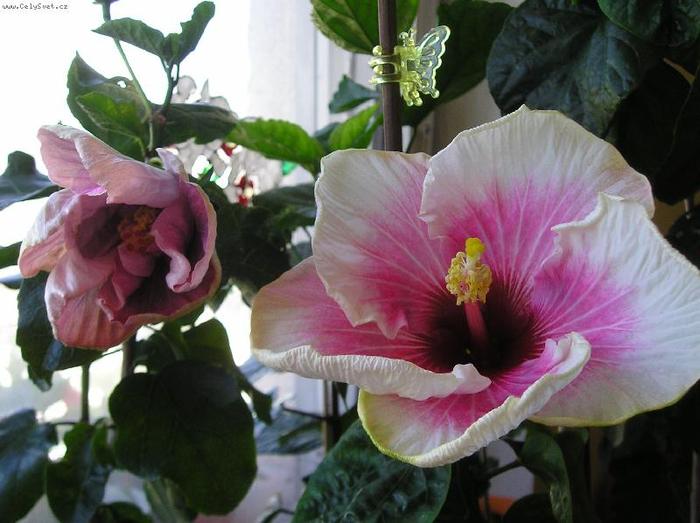 Гибискус, кутайская роза10 (700x523, 339Kb)