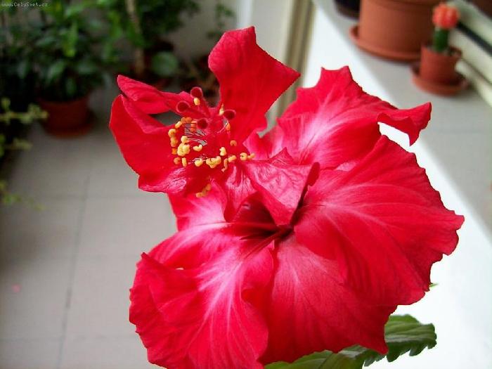 Гибискус, кутайская роза16 (700x525, 323Kb)