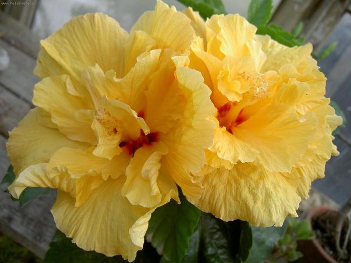 Гибискус, кутайская роза18 (700x525, 342Kb)