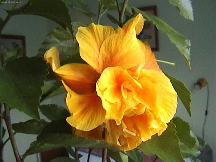 Гибискус, кутайская роза21 (700x525, 333Kb)