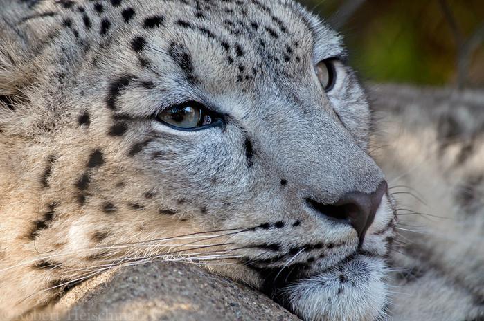 snow_leopard_0014_by_robbobert-d8ts0ci (700x464, 479Kb)