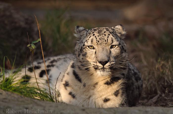 sunset_snow_leopard_by_robbobert-d8uqqz7 (700x464, 327Kb)