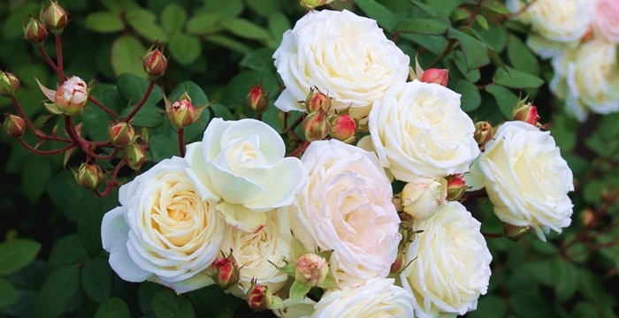 4920201_Nature___Flowers_Beautiful_flowers_shrub_roses_in_the_park_067033_973x500 (700x360, 194Kb)