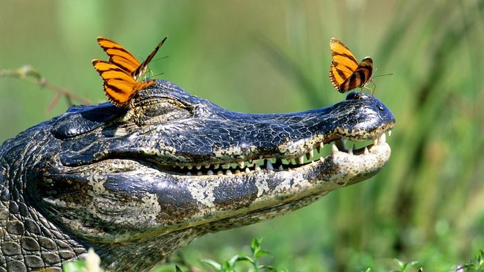 4. Дружелюбный крокодил (700x393, 349Kb)
