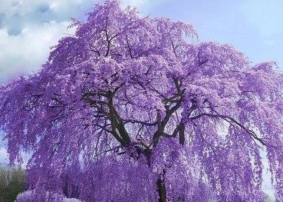 дерево жакаранда (403x288, 156Kb)
