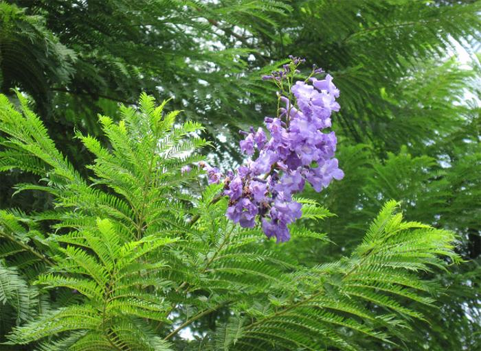 ЖАКАРАНДА - дерево 26 (700x512, 579Kb)