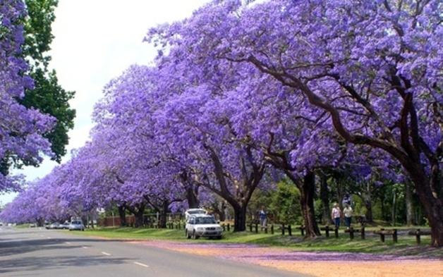 ЖАКАРАНДА - дерево 24 (628x393, 285Kb)