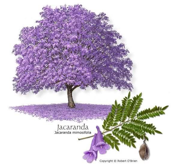ЖАКАРАНДА - дерево - (573x546, 243Kb)