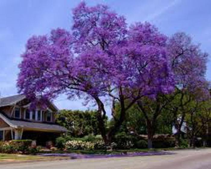 ЖАКАРАНДА - дерево 2 (700x560, 310Kb)