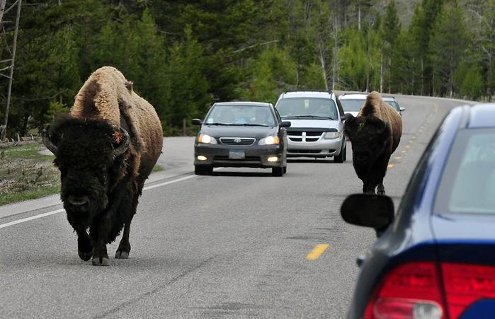 животные переходят дорогу 2 (700x451, 303Kb)