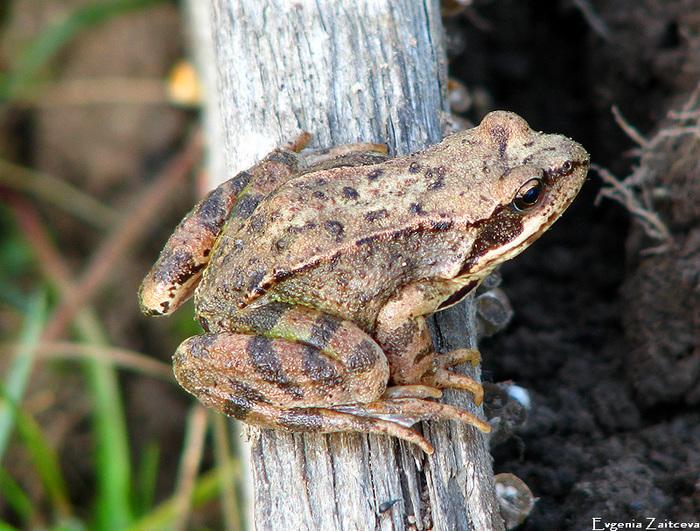 frog1 (700x531, 234Kb)