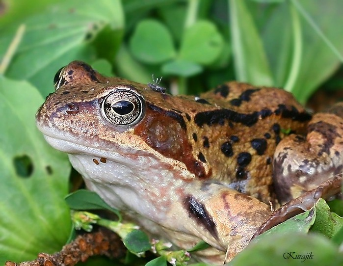 frog2 (700x542, 105Kb)