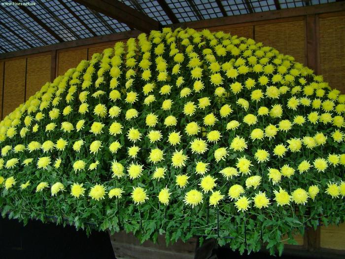 хризантема касабланка