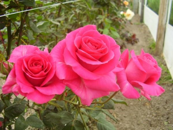 розы (600x450, 256Kb)