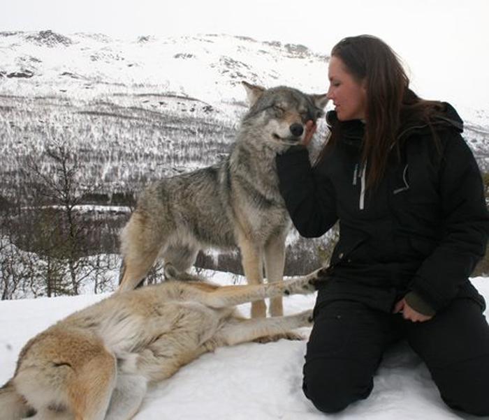 дикие волки фото 2 (700x602, 267Kb)