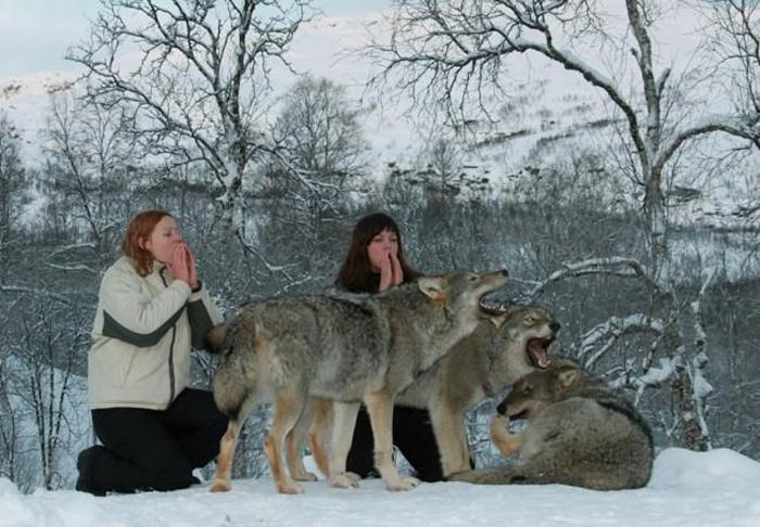 дикие волки фото 3 (700x486, 325Kb)