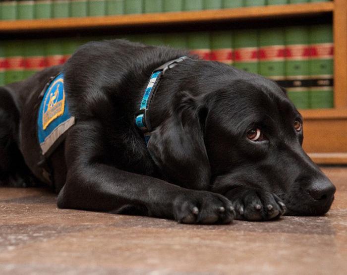 собаки работают в суде Courthouse Dogs 4 (700x555, 264Kb)