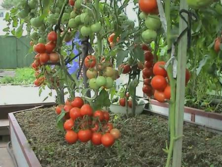 pomidor (450x338, 43Kb)