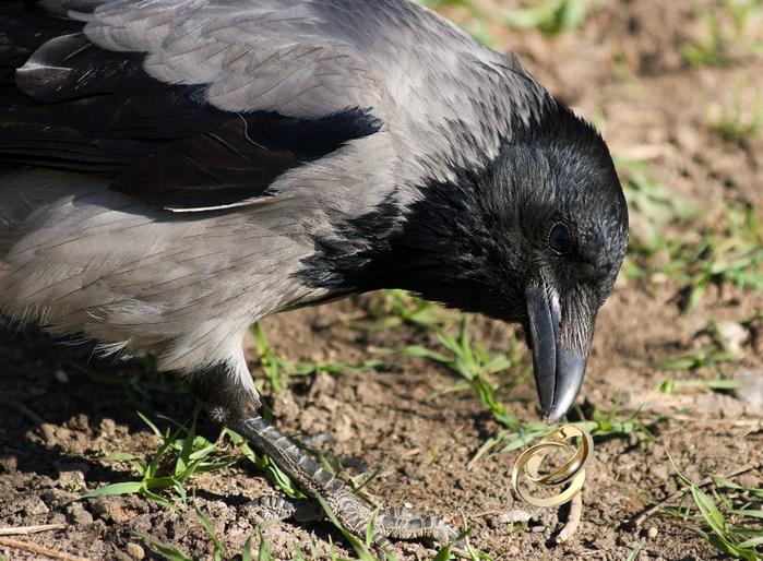 bird_apart_Corvus_cornix200704051128 (700x514, 670Kb)