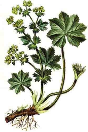 1267974115_alchemilla-vulgaris (334x500, 16Kb)