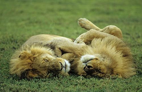 Lions sleeping(1) (500x325, 58Kb)