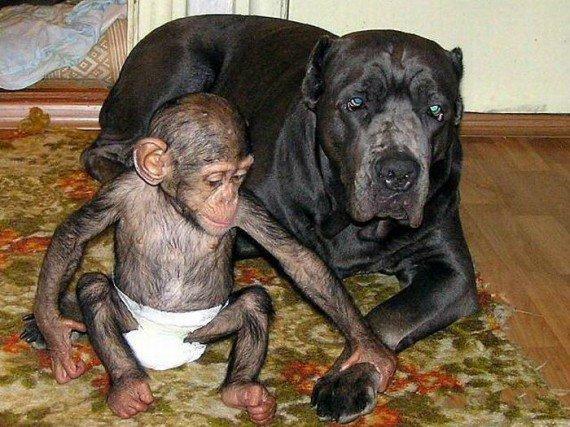 мастиф фото собаки