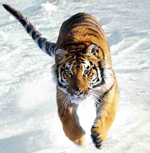 3501548_tigr (607x617, 21Kb)