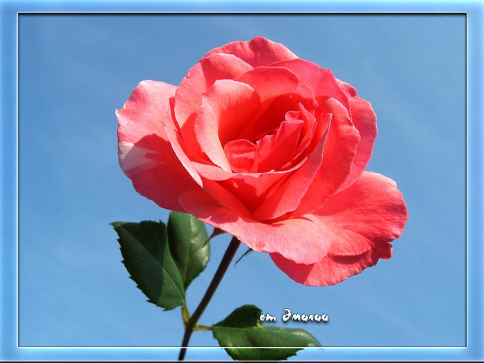 Роза от Эмилии (700x525, 378Kb)