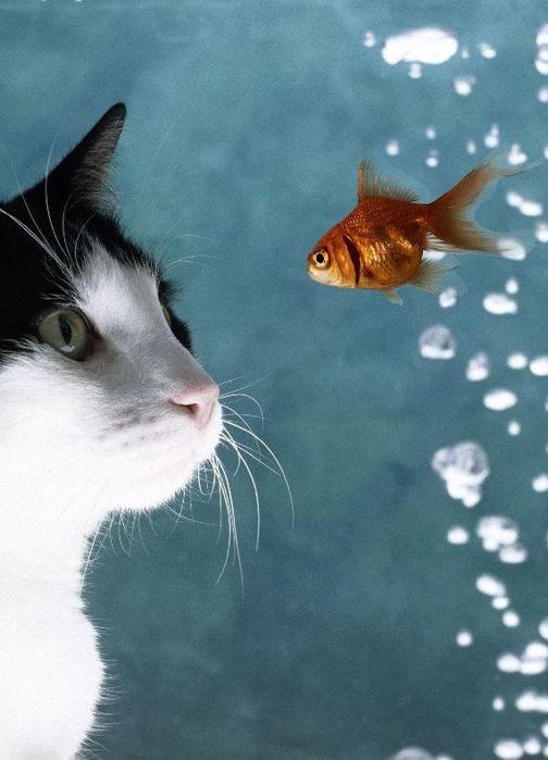 31863190_cats_58 (504x699, 48Kb)