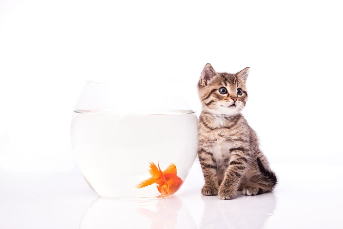 cat-goldfish04 (700x466, 70Kb)