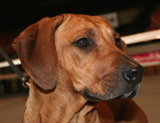 порода собак фото риджбек