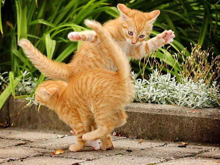 коты танец (700x525, 138Kb)