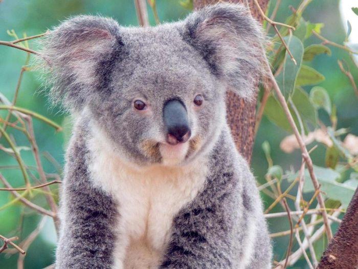 koala_01 (700x525, 73Kb)