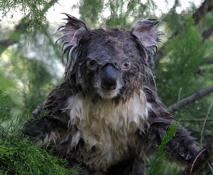 koala2_0 (700x576, 84Kb)