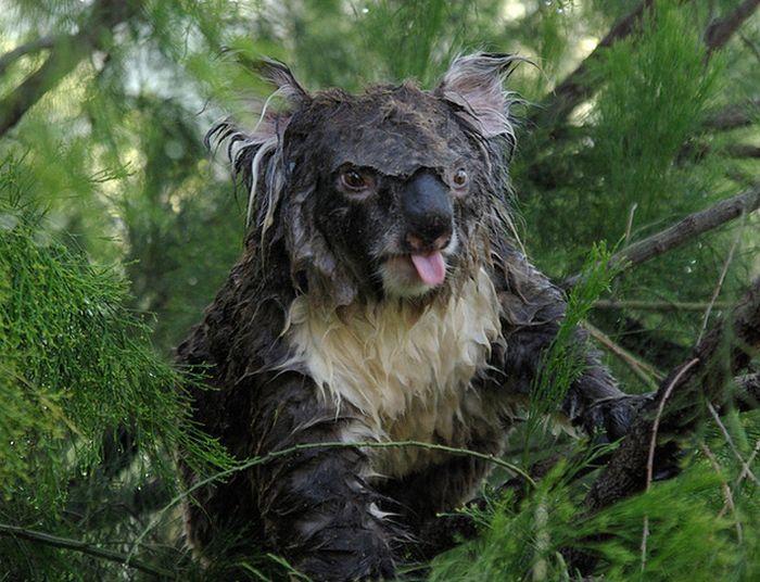 koala2_1 (700x536, 84Kb)