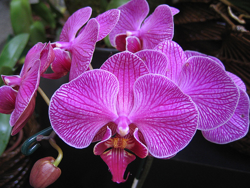orchid1 (500x377, 165Kb)