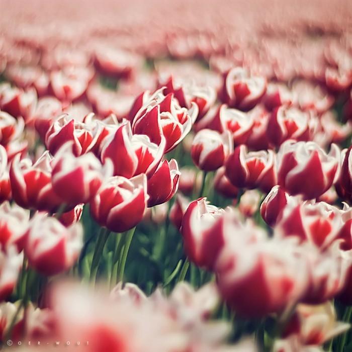Нежные фото цветов от Oer-Wout 7 (700x700, 99Kb)