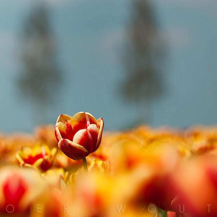 Нежные фото цветов от Oer-Wout 17 (700x700, 51Kb)