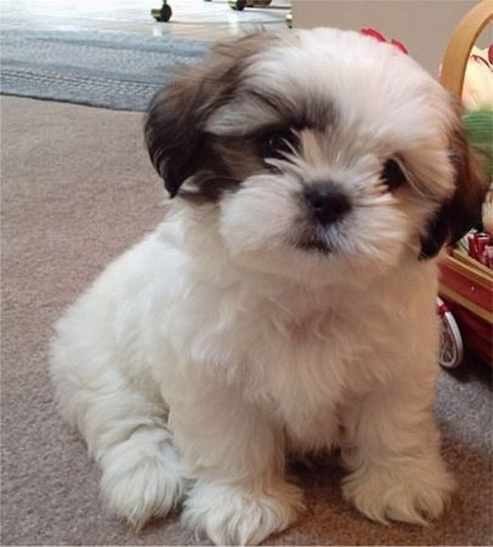 Cute shih tzu haircuts