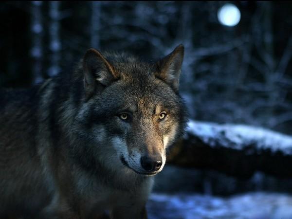 Волк (600x450, 49Kb)
