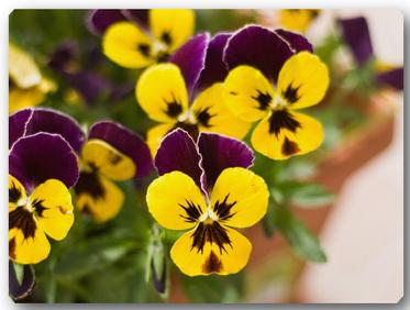 Viola_tricolor_Fialka_trehcvetnaya_ili_Anyutiny_glazki_ (373x282, 42Kb)