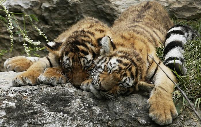 фотографии тигрят (700x441, 199Kb)