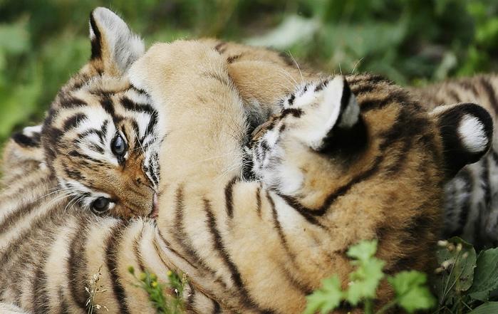 фотографии тигрят 2 (700x441, 156Kb)