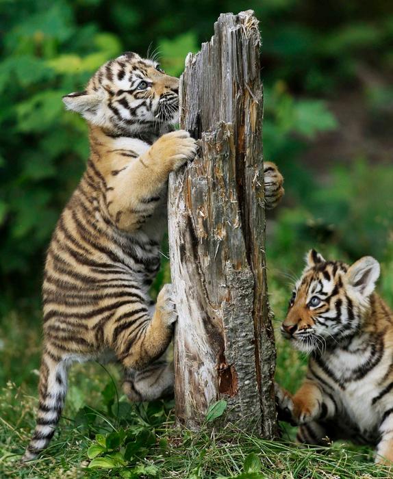 фотографии тигрят 8 (574x700, 542Kb)