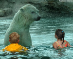 Превью swimming-with-polar-bears (600x484, 355Kb)