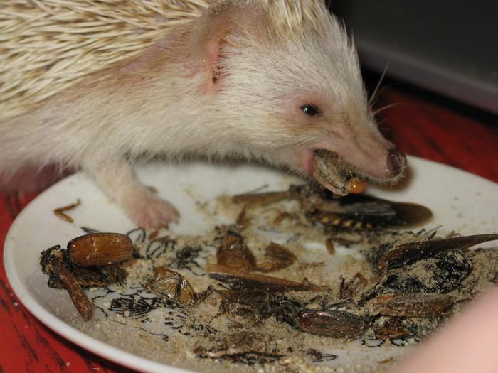 Чем кормить ёжонка в домашних условиях