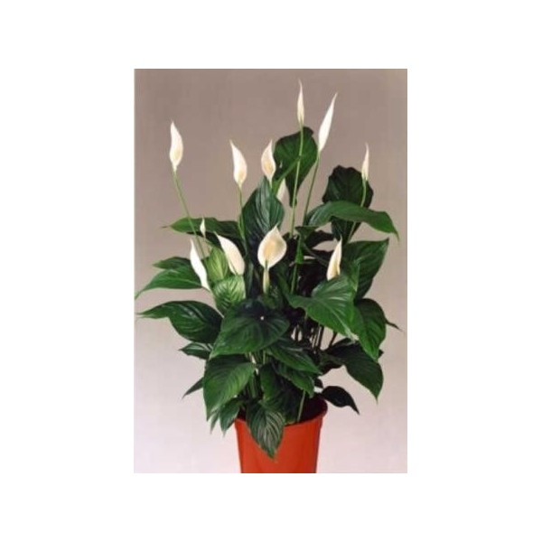 1343406153_spatifillumspathiphyllum (600x600, 35Kb)