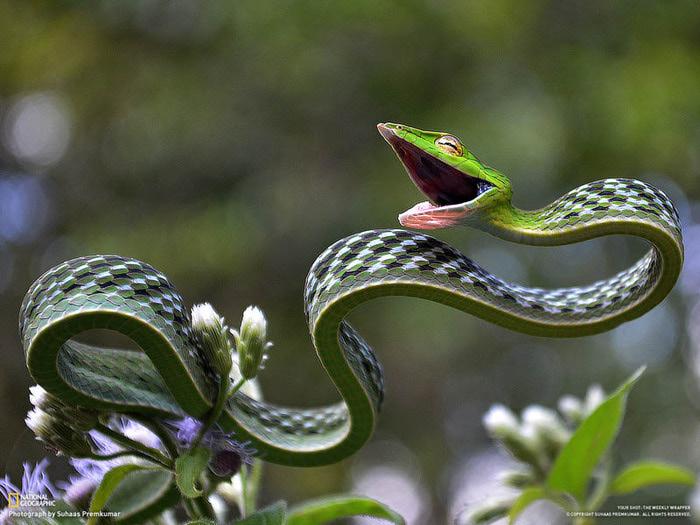 green-vine-snake1 (700x525, 121Kb)