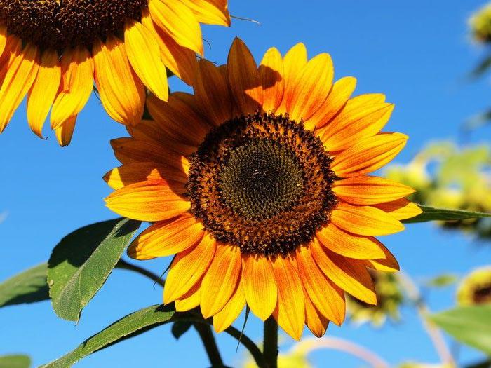 sunflower-t (700x525, 80Kb)