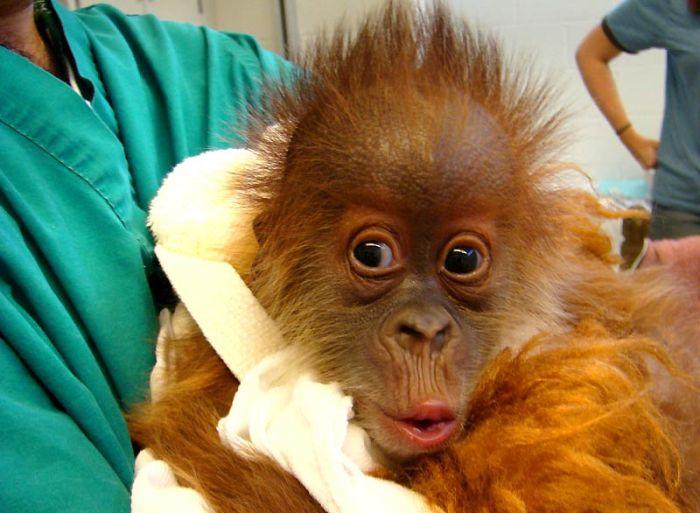 Секс человека и обезьяны онлайн 26 фотография